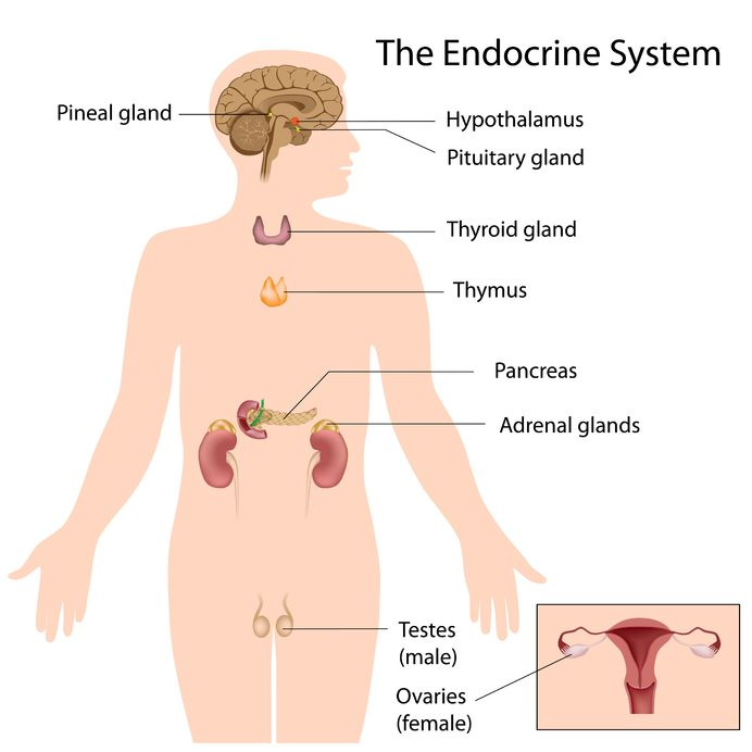 Weight Loss Iodine & The Endocrine System