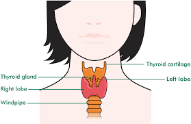 Weight Loss Iodine Thyroid Diagram